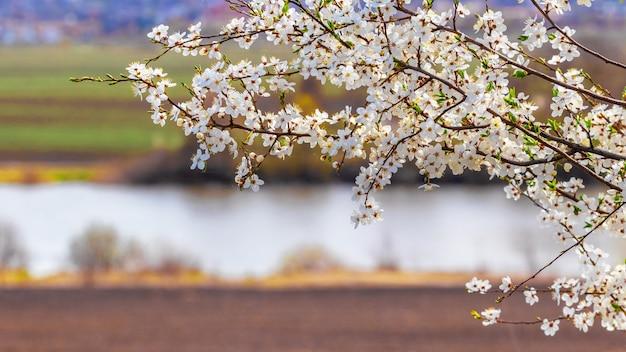 Gałąź drzewa z białymi kwiatami na tle rzeki i pól
