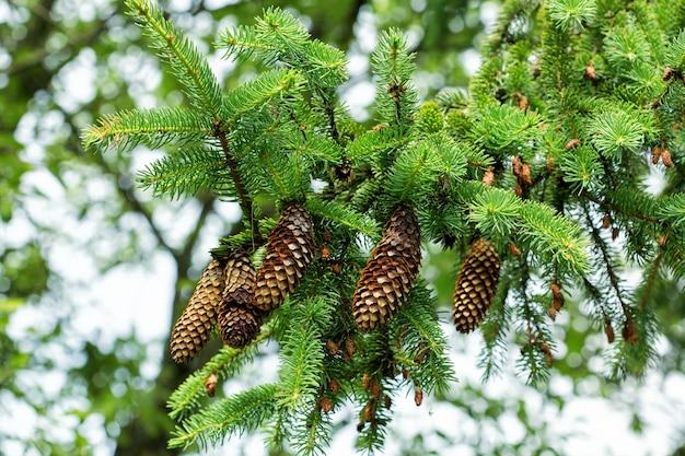 Gałąź drzewa z dużymi otwartymi szyszkami