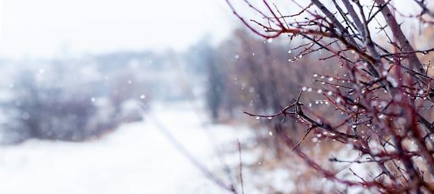 Gałąź drzewa z kroplami deszczu w zimowym lesie podczas odwilży