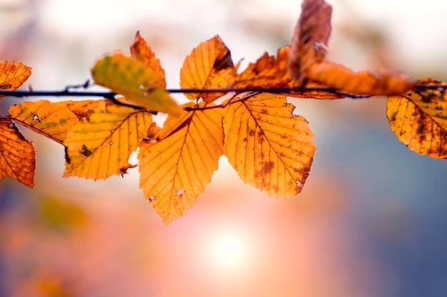 Gałąź drzewa z pomarańczowymi jesiennymi liśćmi w słońcu