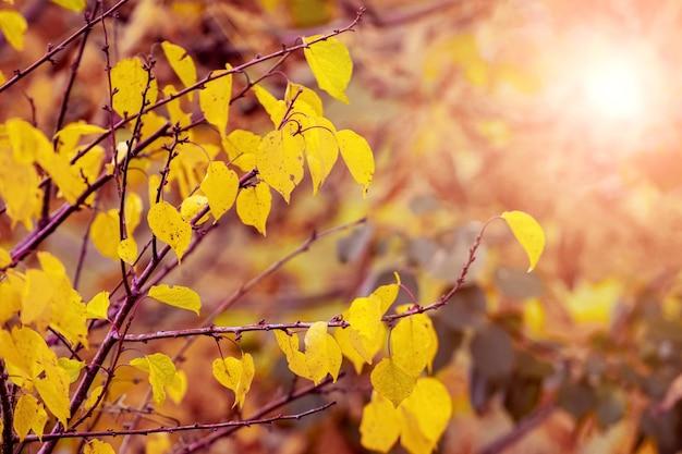 Gałąź drzewa z żółtymi jesiennymi liśćmi na rozmytym tle pod światło