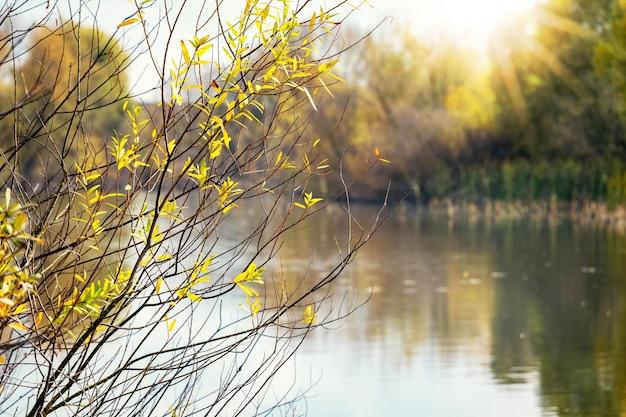 Gałąź drzewa z żółtymi jesiennymi liśćmi nad rzeką w słoneczny dzień