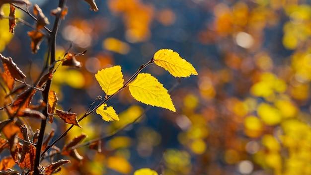 Gałąź drzewa z żółtymi jesiennymi liśćmi w lesie na ciemnym tle przy słonecznej pogodzie