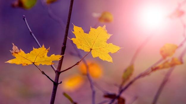 Gałąź drzewa z żółtymi liśćmi klonu w lesie na niewyraźnym kolorowym tle