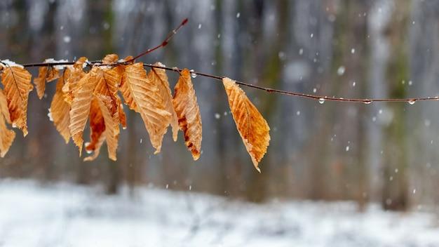 Gałąź drzewa ze zwiędłymi liśćmi w zimowym lesie, to trochę śniegu