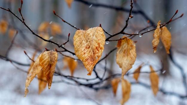 Gałąź drzewa ze zwiędłymi liśćmi zimą podczas odwilży lub późną jesienią przy deszczowej pogodzie