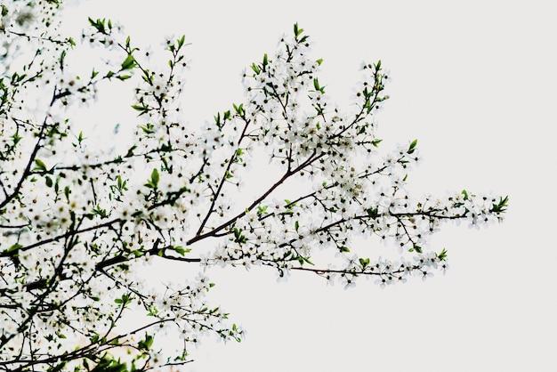 Gałąź drzewo w kwiacie w wiośnie z chmurnego nieba tłem.
