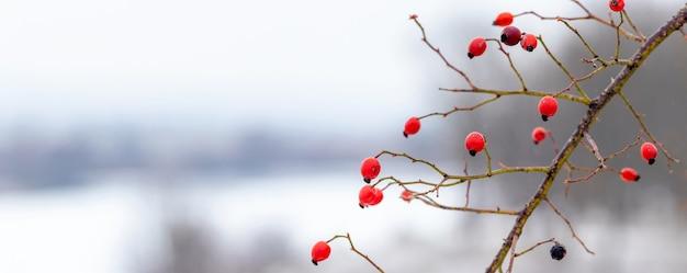 Gałąź dzikiej róży z czerwonymi jagodami zimą na rozmytym tle, panorama