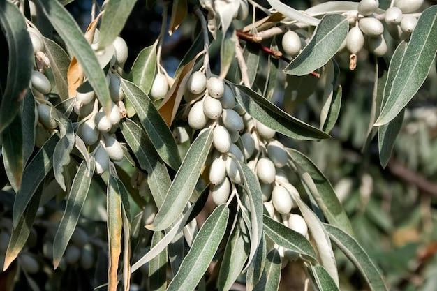 Gałąź elaeagnus angustifolia (powszechnie nazywana rosyjską oliwką, srebrną jagodą, oleasterem, oliwą perską lub dziką oliwką)