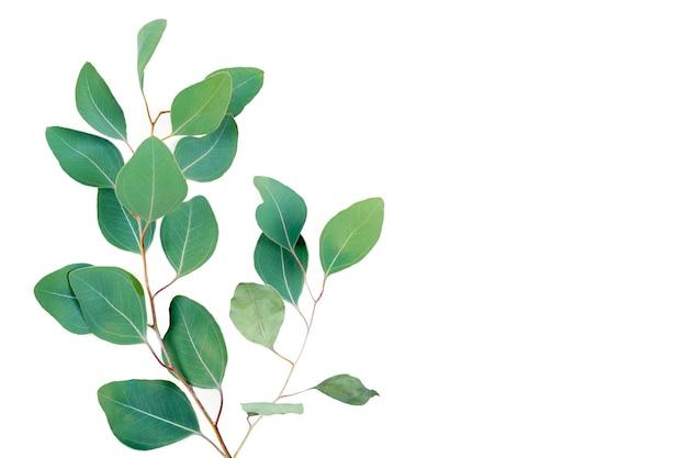 Gałąź eukaliptusa na białym tle.