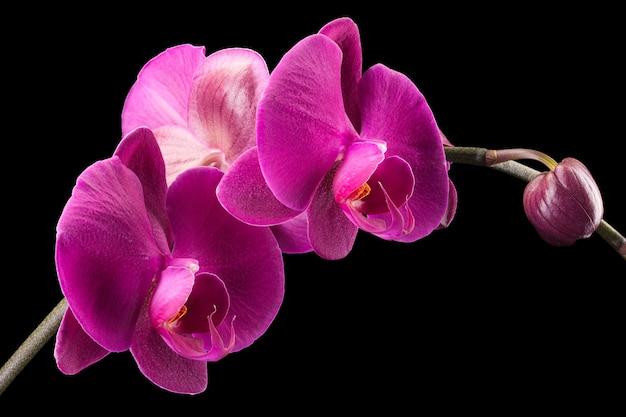 Gałąź fiołka phalaenopsis lub orchidei moth z rodziny orchidaceae