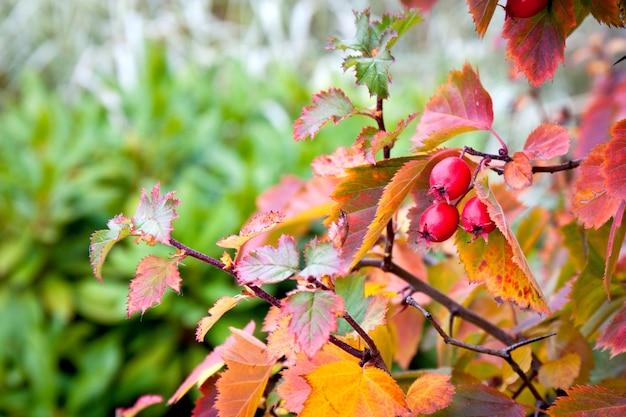 Gałąź głogu z czerwonymi jagodami jesienią