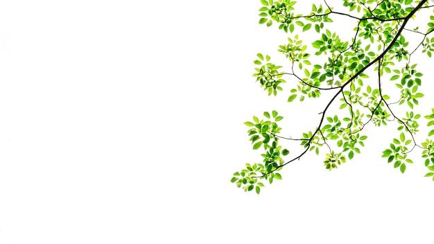 Gałąź i zielony liść odizolowywający na bielu