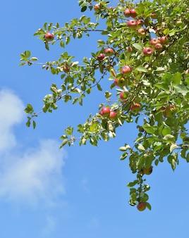 Gałąź jabłoń z czerwonymi owoc r na niebieskiego nieba tle