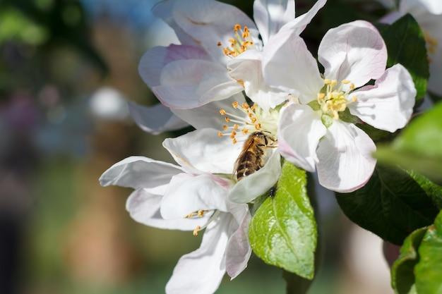 Gałąź jabłoni w okresie wiosennego kwitnienia z pszczołą.