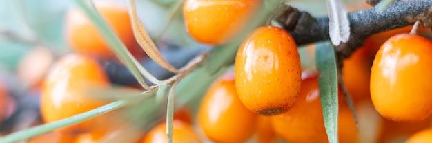 Gałąź jagód rokitnika pomarańczowego powiększyła się z bliska. dużo przydatnych jagód rokitnika na krzaku. jagoda, z której powstaje olej. nieostre lub mała głębia ostrości. transparent