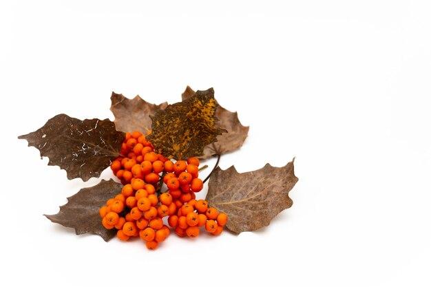 Gałąź jarzębiny z czerwonymi jagodami i żółtymi liśćmi na białym tle, z bliska