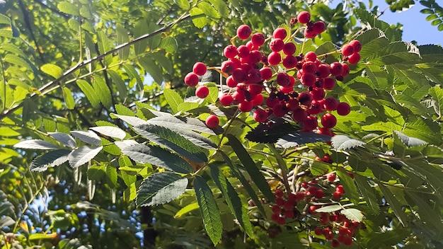 Gałąź jarzębiny z pęczkiem czerwonych dojrzałych jagód. zbliżenie jarzębiny na tle nieba i zielonych liści.