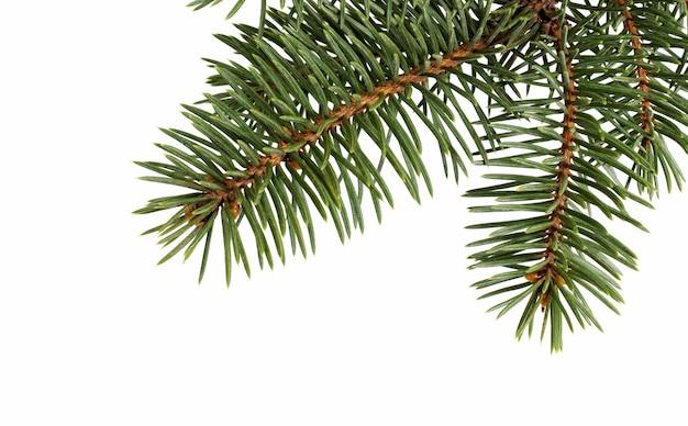 Gałąź jodły na białym tle. gałąź sosny. świąteczna ozdoba.