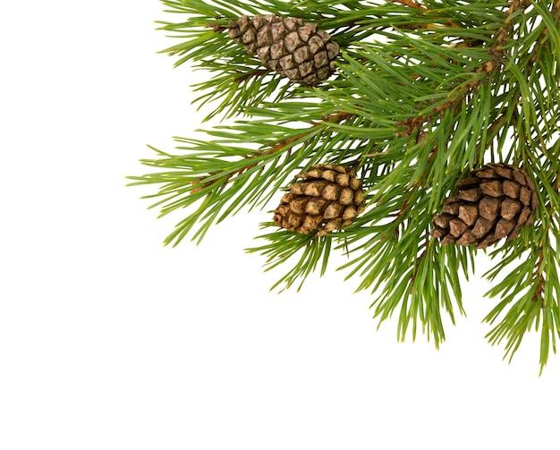 Gałąź jodły ze stożkiem na białym tle. gałąź sosny. dekoracja świąteczna.