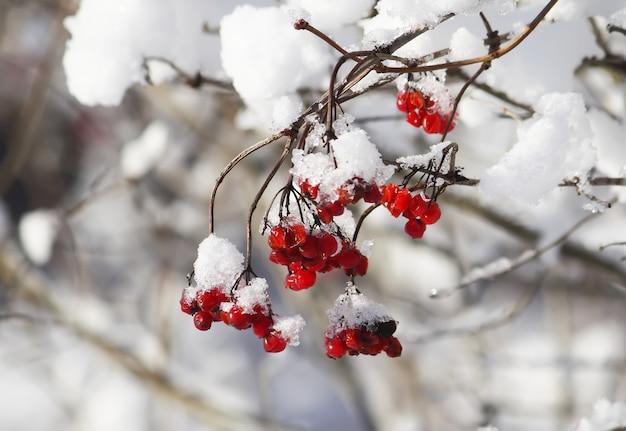 Gałąź kaliny z dojrzałymi czerwonymi jagodami w śniegu
