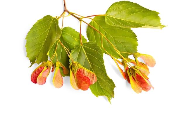 Gałąź klonowa z zielonymi liśćmi i czerwonymi nasionami na białym tle
