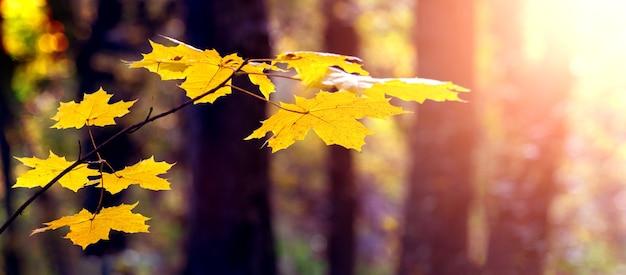 Gałąź klonowa z żółtymi liśćmi w jesiennym ciemnym lesie podczas zachodu słońca