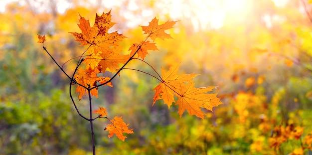 Gałąź klonu z pomarańczowymi jesiennymi liśćmi w lesie w słońcu
