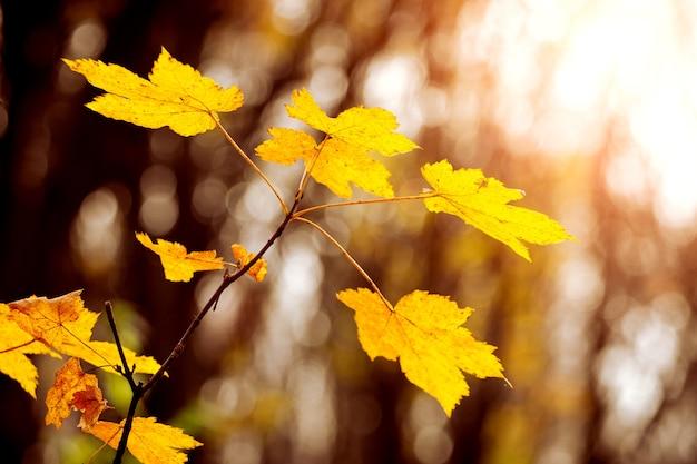 Gałąź klonu z żółtymi liśćmi na drzewie w jesiennym lesie w słońcu w ciepłych jesiennych odcieniach