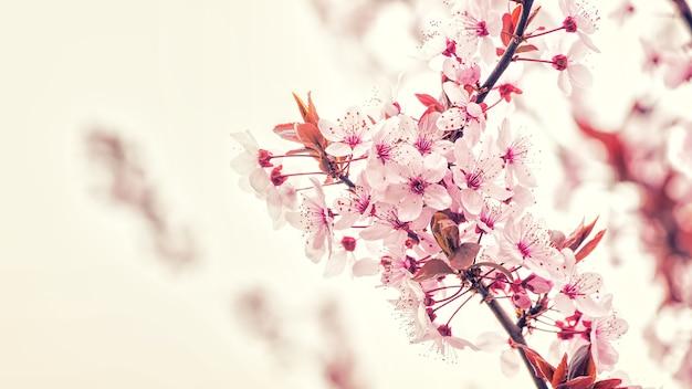 Gałąź kwiat wiśni