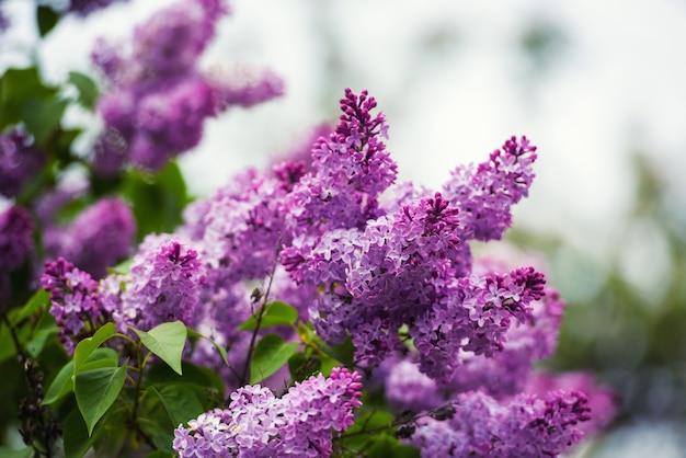 Gałąź kwiatów bzu z liśćmi