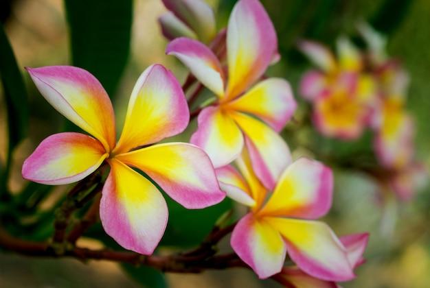 Gałąź kwiatów tropikalnych frangipani (plumeria)
