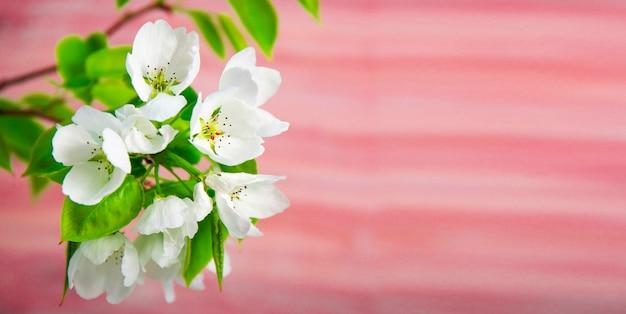 Gałąź kwitnącego białego jabłka w ogrodzie z bliska, zdjęcie wiosennych kwiatów