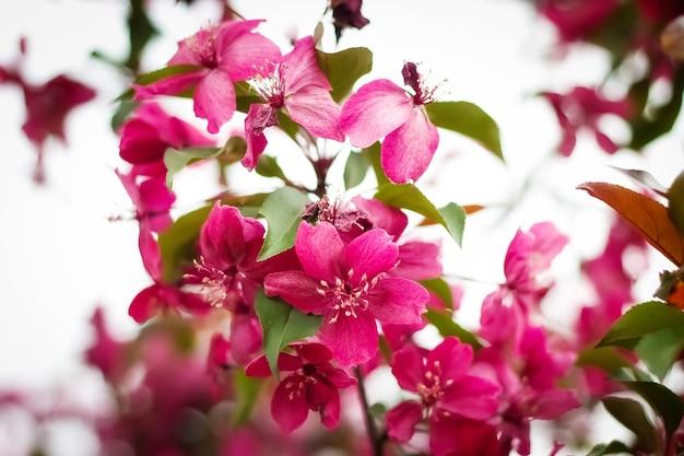 Gałąź kwitnącej ozdobnej jabłoni z czerwonymi kwiatami, fokus na pierwszym planie, rozmyte tło, selektywna ostrość. wiosenne kwiaty.