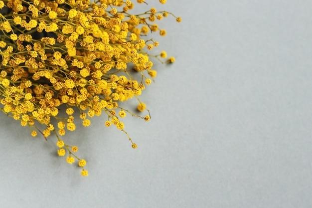 Gałąź mimozy żółte wiosenne kwiaty na szarym tle