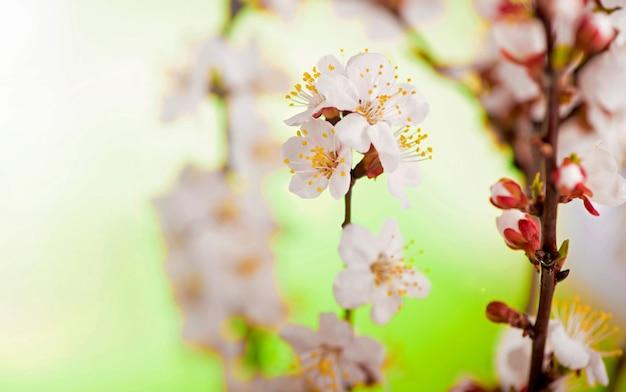 Gałąź moreli z kwiatami i liśćmi w wiosennym ogrodzie