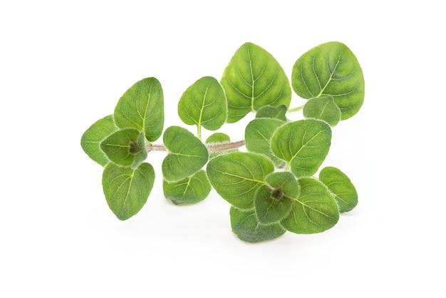 Gałąź oregano i zielone liście na białym tle.