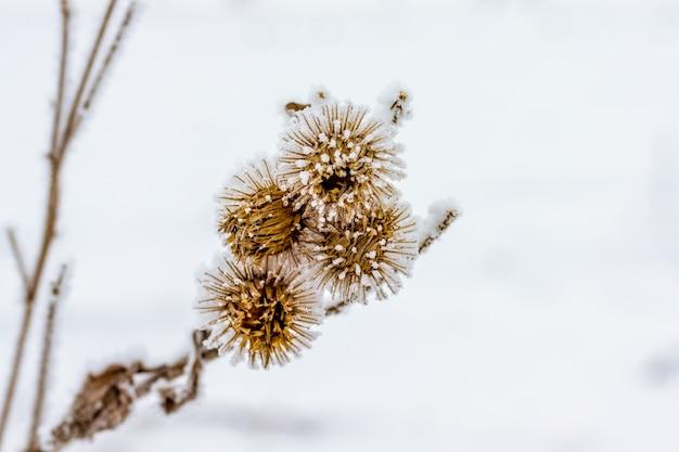 Gałąź ostu z nasionami pokrytymi szronem zimą