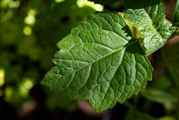 Gałąź paczuli i zielone liście na zamazanej naturze