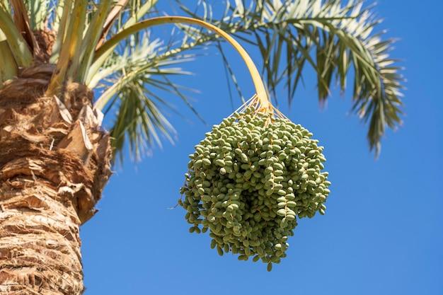 Gałąź palmy daktylowej z zielonymi niedojrzałymi datami na tle błękitnego nieba w sharm el sheikh, egipt, afryka