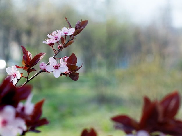 Gałąź piękna różowa śliwka wiśniowa, prunus cerasifera nigra, kwitnąca wczesną wiosną. drzewo dekoracyjne krajobrazu.