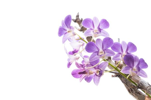 Gałąź piękne fioletowe kwiaty orchidei na białym tle