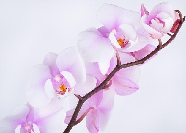 Gałąź pięknej i pastelowej fioletowej orchidei phalaenopsis na białym tle