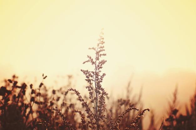 Gałąź piołunu oświetlona przez słońce na mglistym polu.
