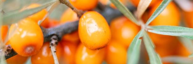 Gałąź pomarańczowych jagód rokitnika powiększyła się z bliska. dużo pożytecznych jagód rokitnika na krzaku. jagoda, z której powstaje olej. nieostre lub mała głębia ostrości. transparent