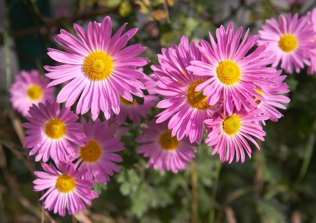 Gałąź różowe jesienne kwiaty