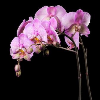 Gałąź różowej orchidei phalaenopsis lub moth z rodziny orchidaceae