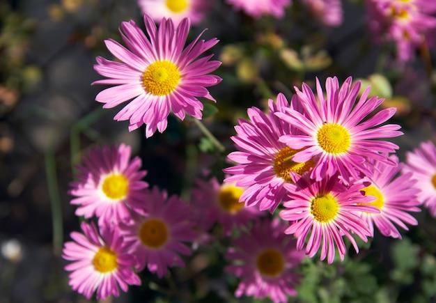 Gałąź różowych jesiennych kwiatów