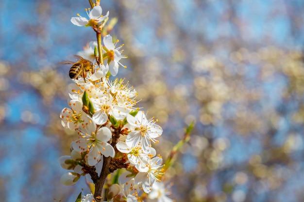 Gałąź śliwki z białymi kwiatami w słoneczną pogodę na niewyraźne tło
