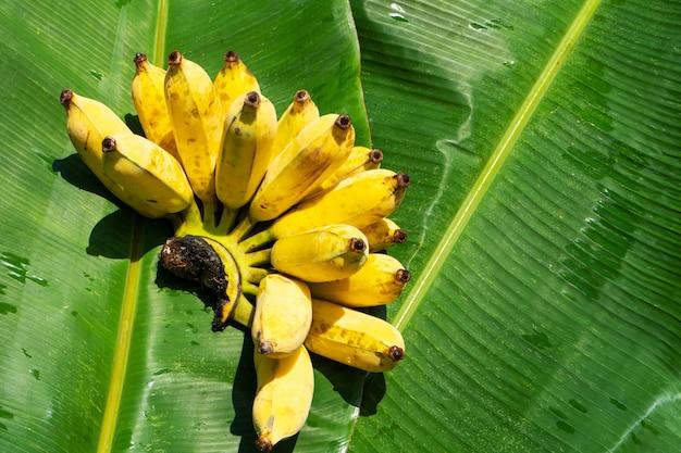 Gałąź soczystych żółtych bananów na liściu zielonego banana. dojrzałe soczyste owoce.